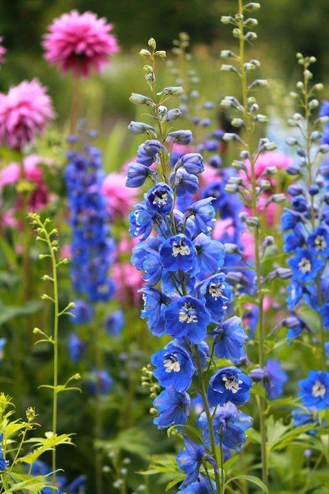 Royal Blue Flowers - Emily Ann Photography