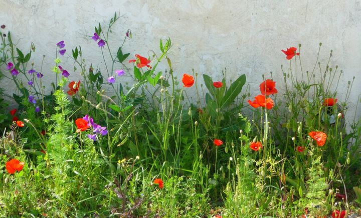 Wild flowers on Ile de Re, France - Sheilah's Art