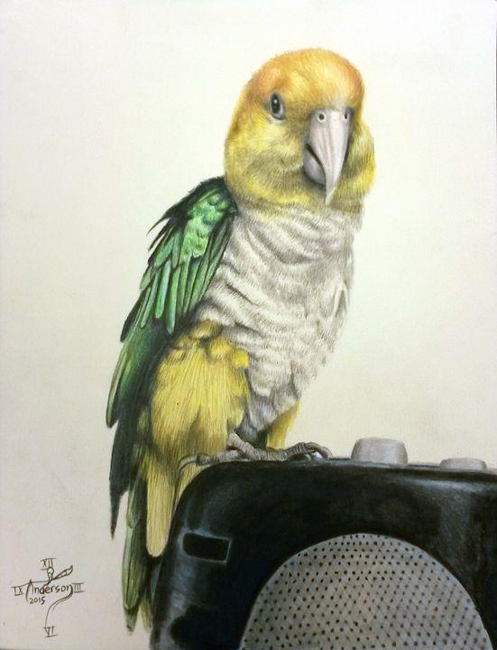 Caique Parrot Portrait - Jonathan Anderson Artist
