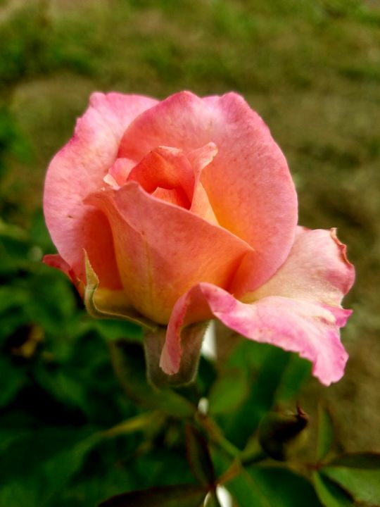 Pink Rose - Sally's photography