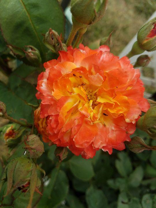 A orange  rose - Sally's photography