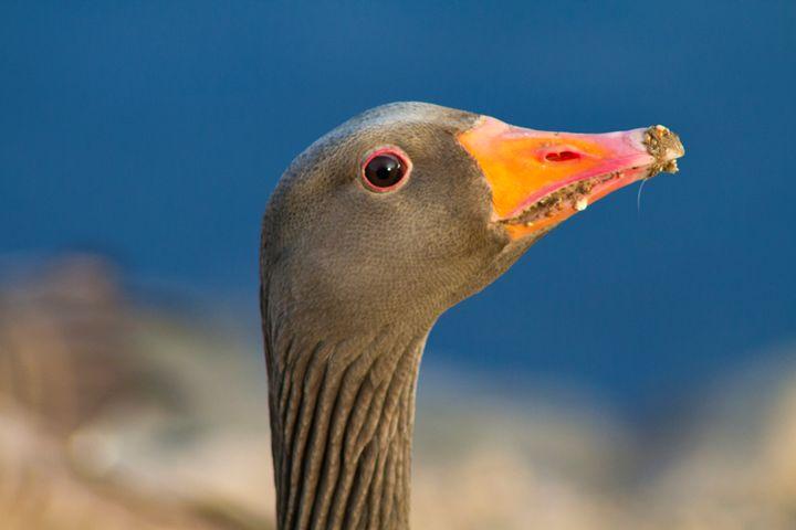 Wild geese - Simon Hark