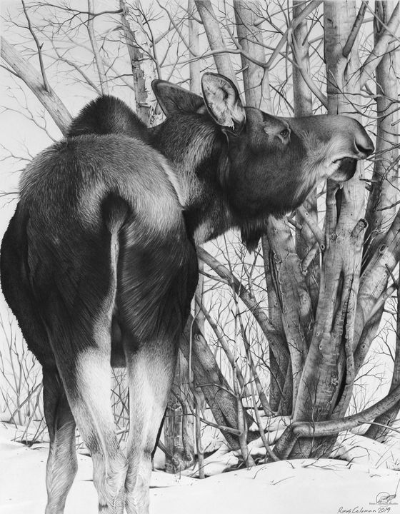 """Moose Eating Willows"" - Ross Coleman Studio"