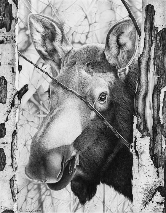 """Moose Face"" - Ross Coleman Studio"