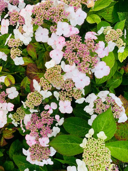 Light Pink Hydrangea Buds - Hale Family Art