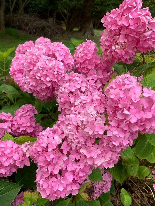 Pink Hydrangea - Hale Family Art