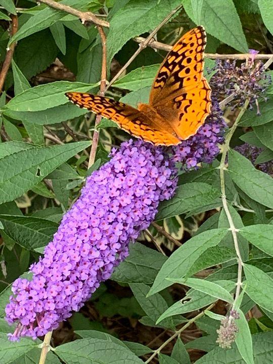 Butterfly on Butterfly Bush - Hale Family Art
