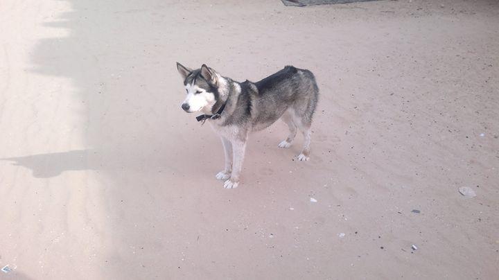 Husky at a beach - Sky Canvas
