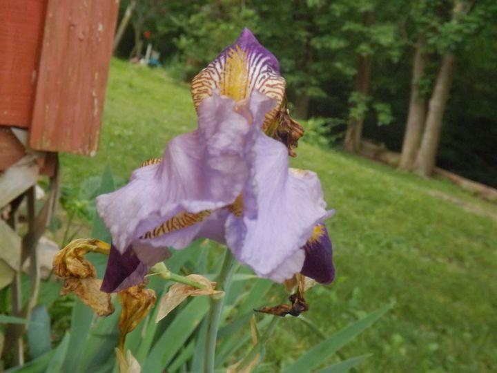 Iris summer - Carrie's Captured Treasures