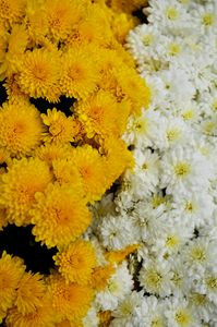 White & Yellow Marigolds - Emily O'Donnell's Fine Art Photography