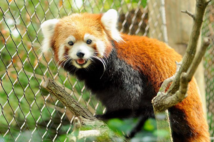 Red Panda - Emily O'Donnell's Fine Art Photography