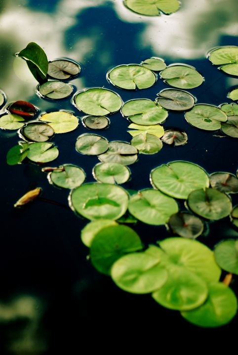 Lilypads in Pond - Emily O'Donnell's Fine Art Photography