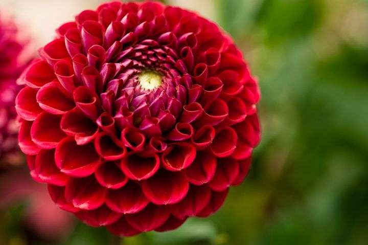Red Dahlia - Emily O'Donnell's Fine Art Photography