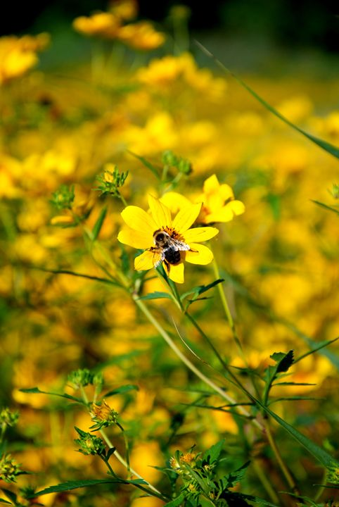 Bumblebee on Flower - Emily O'Donnell's Fine Art Photography