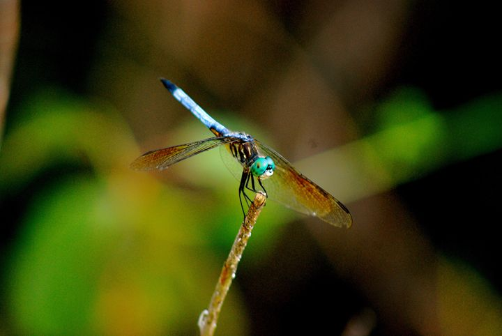 Dragonfly - Emily O'Donnell's Fine Art Photography
