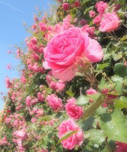 Rosen in Königgrätz