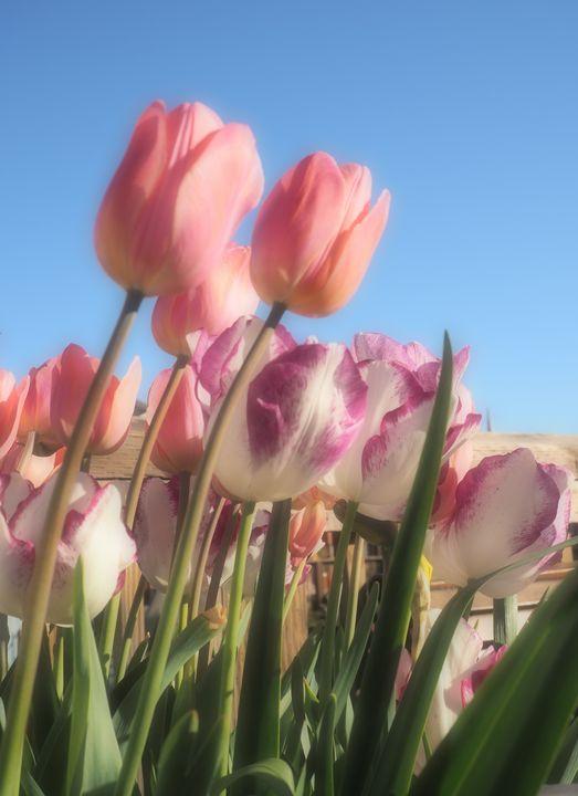 Mazzo di Tulipani - Glomes en Voyage