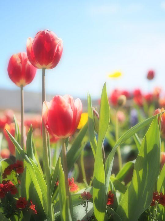 Tre Tulipani - Glomes en Voyage