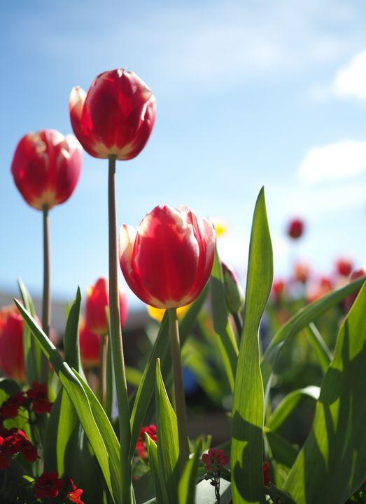 Tres Tulipanes - Glomes en Voyage