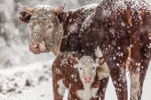Cow and her baby in the snow
