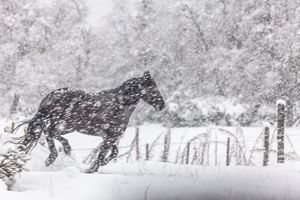 Horse galloping in the snow