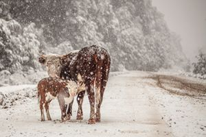 Image of Baby Cow on a Snowstorm