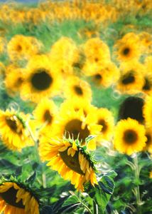 Sunflowers 01 - the seasons in chianti