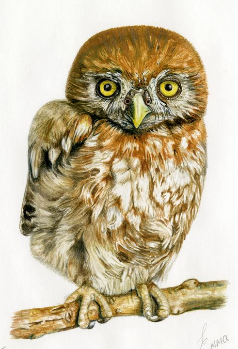 Pearl Spotted Owlet - Emma Mooring