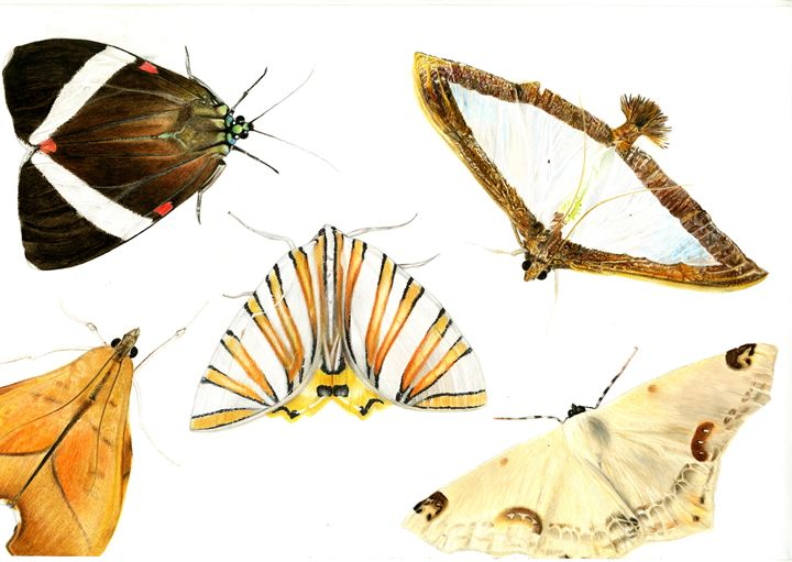 Costa Rican Moths - Emma Mooring
