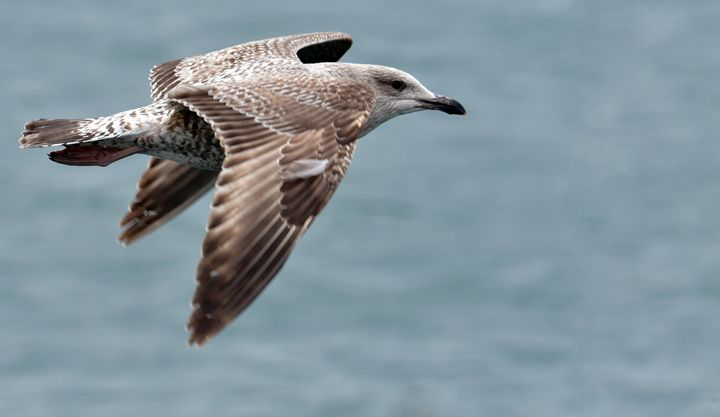 Juvenile Herring Gull in Flight - MonksArt