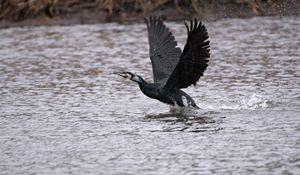 Cormorant Take Off - MonksArt
