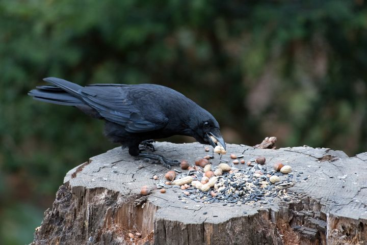 Carrion Crow going Nuts - MonksArt