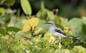 Northern Mockingbird - MonksArt