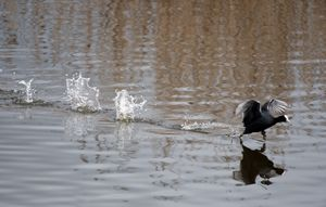 Coot Walking on Water
