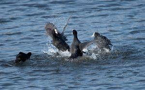 Everybody was Coot Fu Fighting...