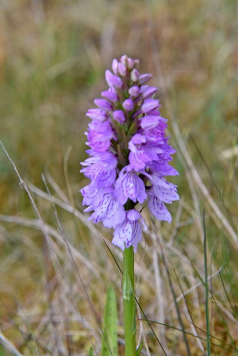 Spotted Heath Orchid - MonksArt