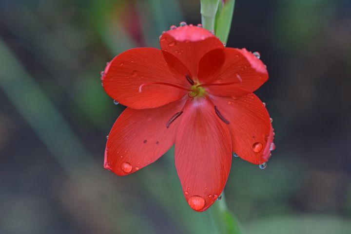 Crimson Flag Iris - MonksArt