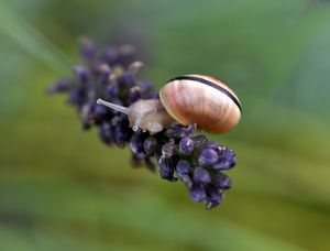 White Lipped Snail on Lavender