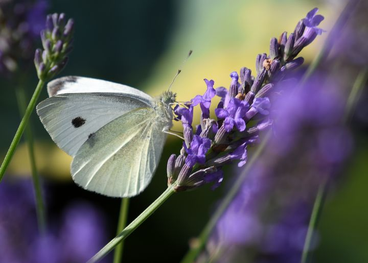Large White Butterfly on Lavender - MonksArt