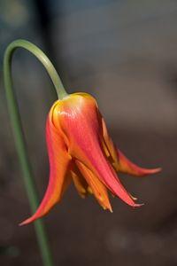A Shy Tulip