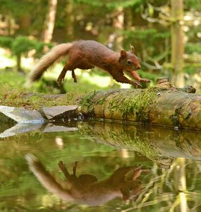 Red Squirrel Leaping - MonksArt