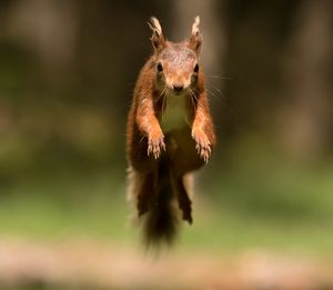 Incoming Red Squirrel - MonksArt