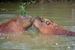 Capybara Kiss - MonksArt