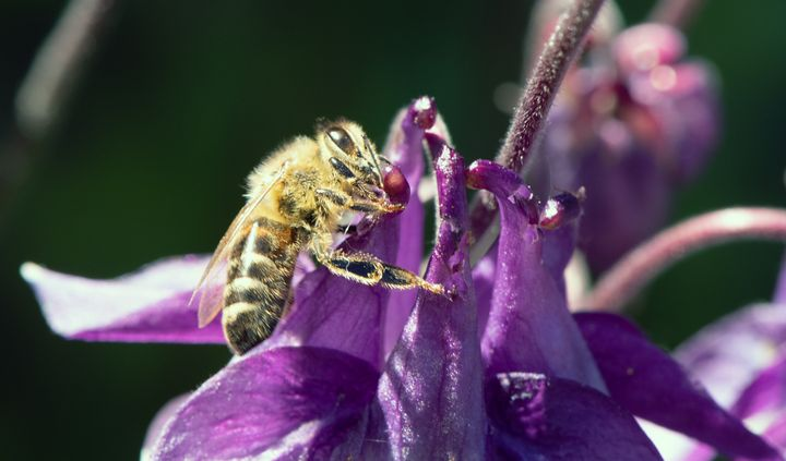 Bee Pollinating an Acquilegia Flower - MonksArt