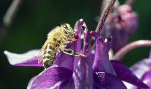 Bee Pollinating an Acquilegia Flower