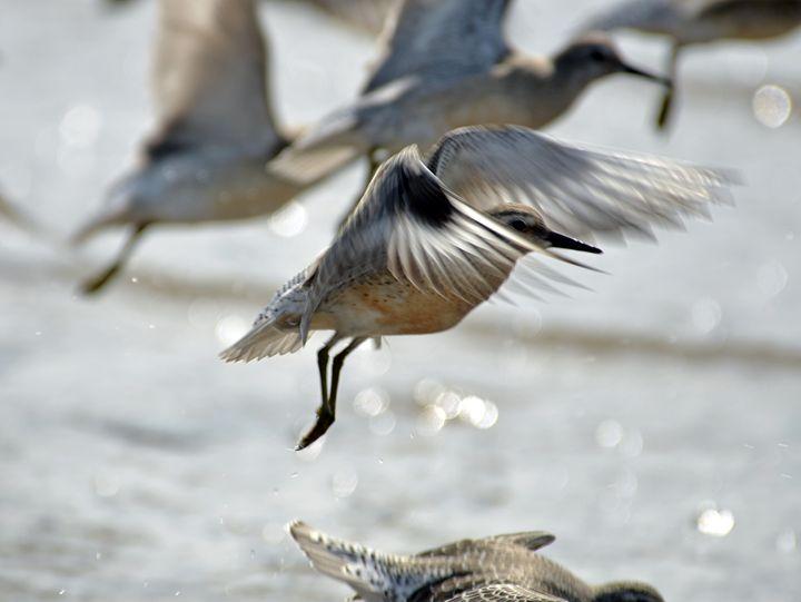Dunlin - Crosby Beach - MonksArt