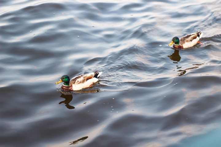 Ducks in a Pond - Nolyn Wise Photographs