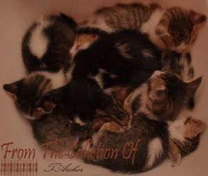 Kittens at rest North African Breed