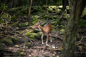 Bambi in the Woods