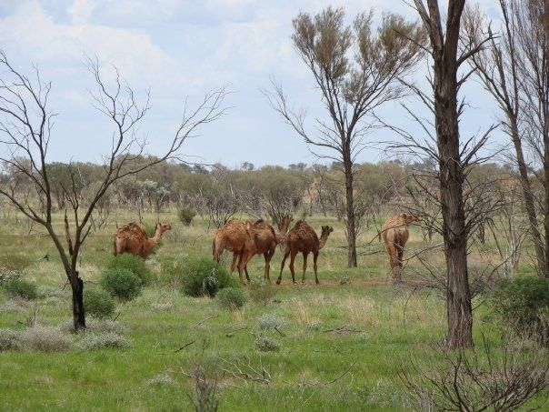 Feral camels - My life through a lens